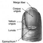 Nailart Nagel-Anatomie